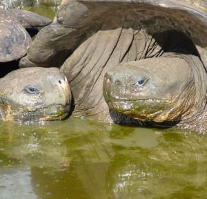 Winston tortoises cropped